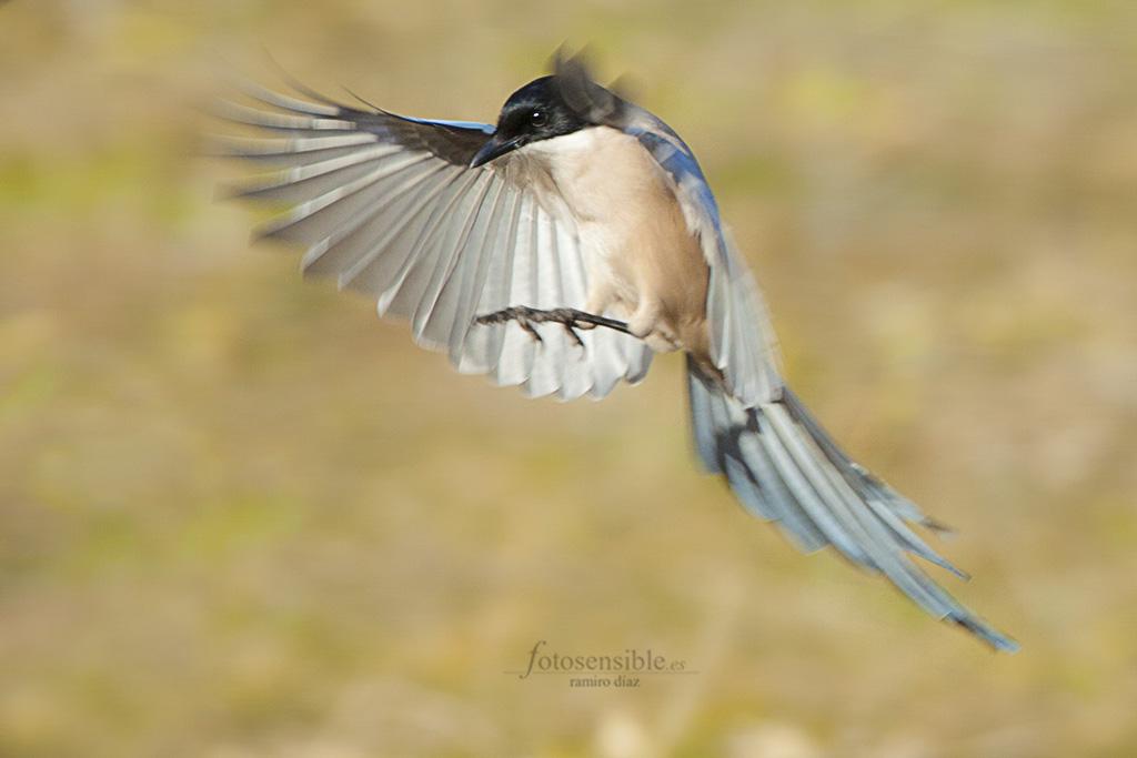 Rabilargo abrazando el aire antes de aterrizar (hide).