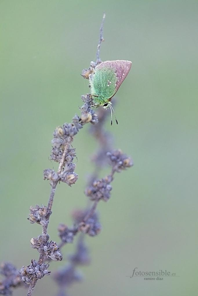 A principios de primavera, el Cardenillo comienza su vida de imago, tan corta como hermosa.