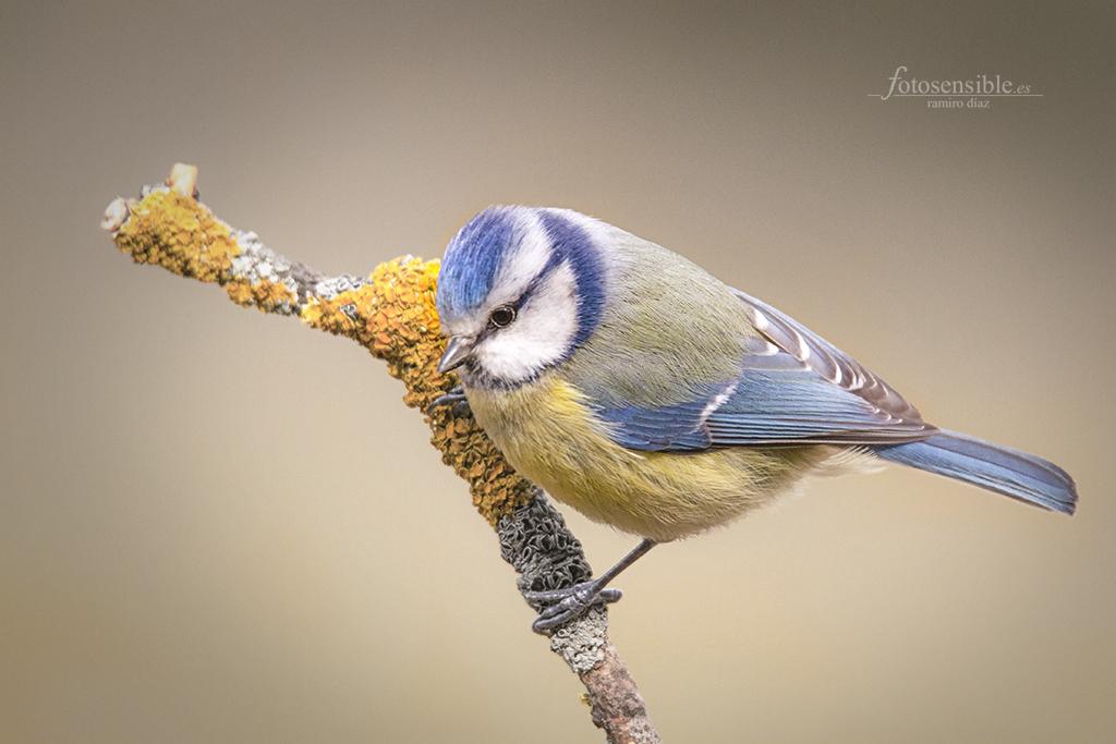 Precioso herrerillo con sus tonos azules y amarillos (hide).