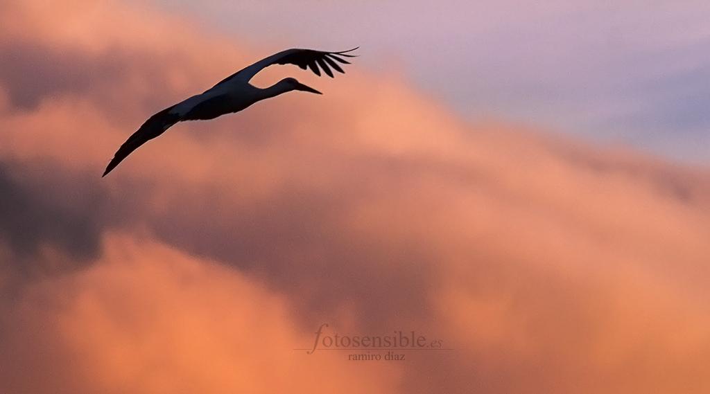 Una cigüeña parece acariciar las nubes de última hora de la tarde.