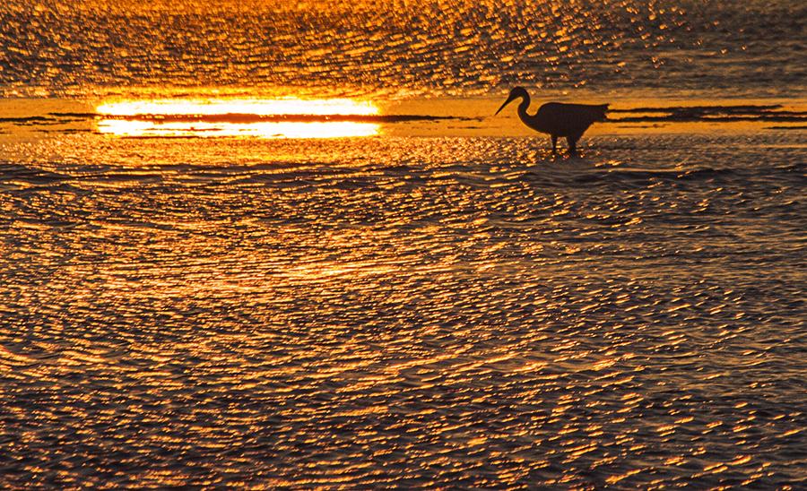 Garceta a contraluz bañada por el sol del amanecer, en el Delta del Ebro.