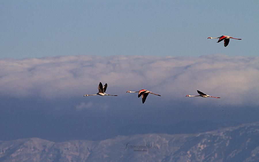 Escuadrón de flamencos sobrevolando el delta una mañana de verano.