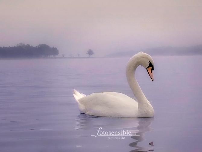 Cisne admirado por su propia elegancia entre la niebla,  en el embalse de Santillana.